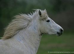 camargue-white-horses1195-camargue-copyright-photographers-on-safari-com