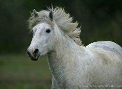 camargue-white-horses1196-camargue-copyright-photographers-on-safari-com