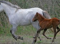 camargue-white-horses1197-camargue-copyright-photographers-on-safari-com