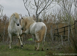 camargue-white-horses1199-camargue-copyright-photographers-on-safari-com