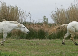 camargue-white-horses1200-camargue-copyright-photographers-on-safari-com