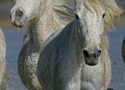 camargue-white-horses1202-camargue-copyright-photographers-on-safari-com