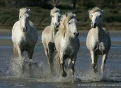 camargue-white-horses1203-camargue-copyright-photographers-on-safari-com