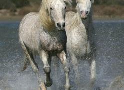 camargue-white-horses1204-camargue-copyright-photographers-on-safari-com