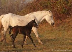camargue-white-horses1205-camargue-copyright-photographers-on-safari-com