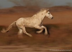 camargue-white-horses1207-camargue-copyright-photographers-on-safari-com