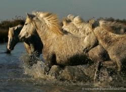 camargue-white-horses1210-camargue-copyright-photographers-on-safari-com