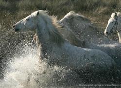 camargue-white-horses1211-camargue-copyright-photographers-on-safari-com