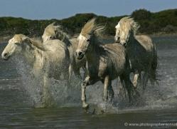 camargue-white-horses1212-camargue-copyright-photographers-on-safari-com