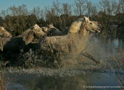 camargue-white-horses1214-camargue-copyright-photographers-on-safari-com