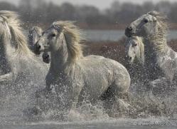 camargue-white-horses1216-camargue-copyright-photographers-on-safari-com