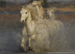 camargue-white-horses1219-camargue-copyright-photographers-on-safari-com