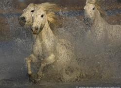 camargue-white-horses1220-camargue-copyright-photographers-on-safari-com