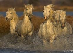 camargue-white-horses1223-camargue-copyright-photographers-on-safari-com
