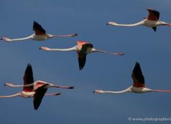 flamingo-1091-camargue-copyright-photographers-on-safari-com