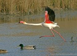 flamingo-1094-camargue-copyright-photographers-on-safari-com