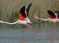 flamingo-1096-camargue-copyright-photographers-on-safari-com