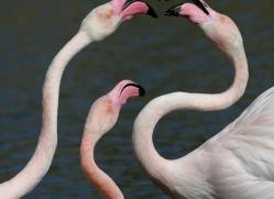 flamingo-1099-camargue-copyright-photographers-on-safari-com