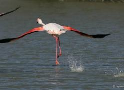 flamingo-1101-camargue-copyright-photographers-on-safari-com