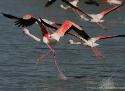 flamingo-1102-camargue-copyright-photographers-on-safari-com