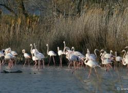 flamingo-1104-camargue-copyright-photographers-on-safari-com