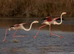 flamingo-copyright-photographers-on-safari-com-8324