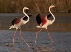 flamingo-copyright-photographers-on-safari-com-8325