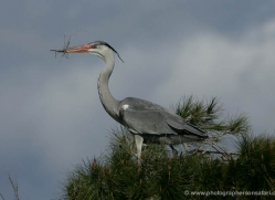 grey-heron-1028-camargue-copyright-photographers-on-safari-com