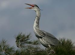 grey-heron-1029-camargue-copyright-photographers-on-safari-com