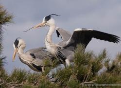 grey-heron-1031-camargue-copyright-photographers-on-safari-com