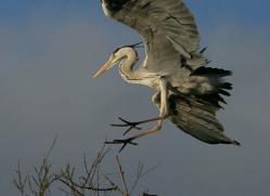 grey-heron-1034-camargue-copyright-photographers-on-safari-com