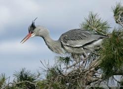 grey-heron-1037-camargue-copyright-photographers-on-safari-com