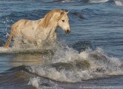 white-horses-camargue-copyright-photographers-on-safari-com-8361