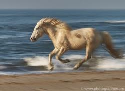white-horses-camargue-copyright-photographers-on-safari-com-8364