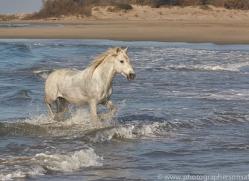 white-horses-camargue-copyright-photographers-on-safari-com-8365