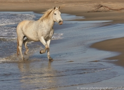 white-horses-camargue-copyright-photographers-on-safari-com-8367