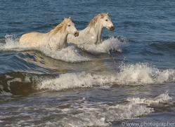 white-horses-camargue-copyright-photographers-on-safari-com-8370