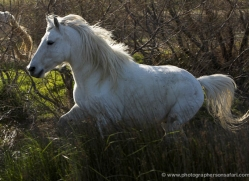 camargue-white-horses1123-camargue-copyright-photographers-on-safari-com