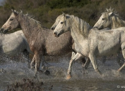 camargue-white-horses1124-camargue-copyright-photographers-on-safari-com
