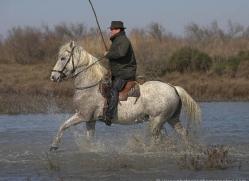 camargue-white-horses1127-camargue-copyright-photographers-on-safari-com