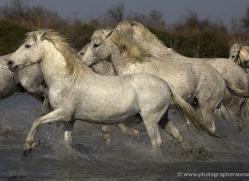 camargue-white-horses1129-camargue-copyright-photographers-on-safari-com