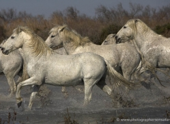 camargue-white-horses1132-camargue-copyright-photographers-on-safari-com