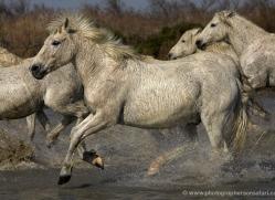 camargue-white-horses1136-camargue-copyright-photographers-on-safari-com