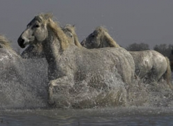 camargue-white-horses1138-camargue-copyright-photographers-on-safari-com
