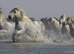 camargue-white-horses1140-camargue-copyright-photographers-on-safari-com
