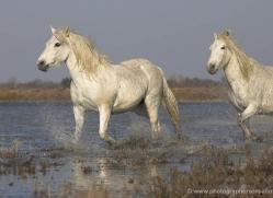 camargue-white-horses1144-camargue-copyright-photographers-on-safari-com