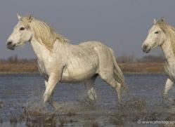 camargue-white-horses1145-camargue-copyright-photographers-on-safari-com