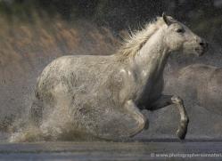 camargue-white-horses1151-camargue-copyright-photographers-on-safari-com