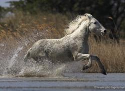 camargue-white-horses1155-camargue-copyright-photographers-on-safari-com