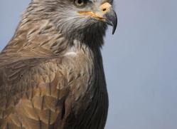kite-1122-camargue-copyright-photographers-on-safari-com